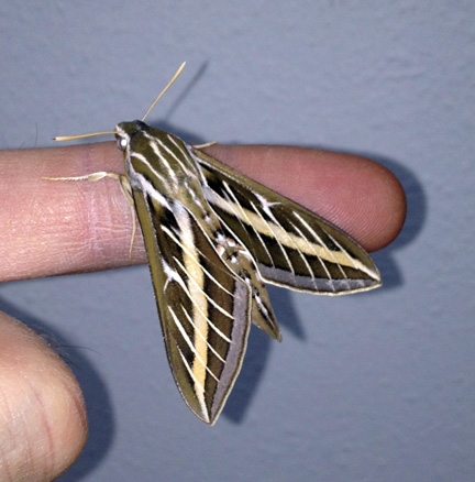 White-lined sphinx moth on my finger